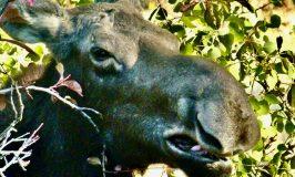 Moose, zoom shot