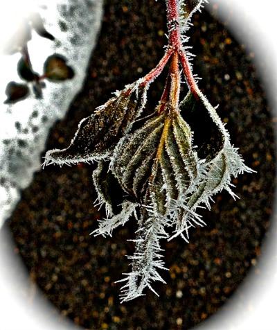 Biblio Diva Studies hoarfrost on leaves