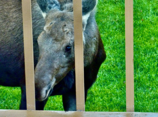 Moose calf by the deck