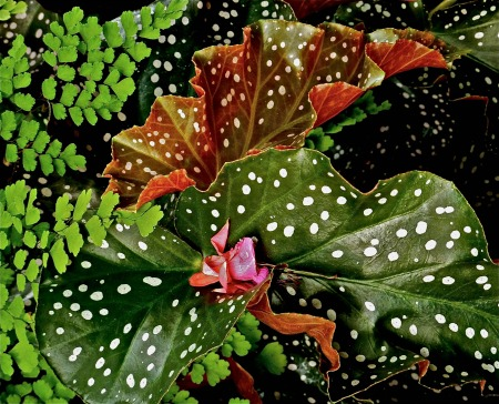Polka Dot Playdate: Begonias Have All the Best Dirt