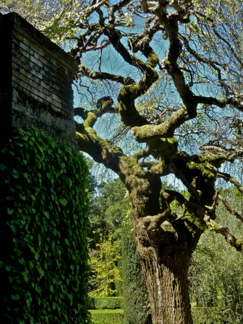 Camperdown Elm at Filoli Garden