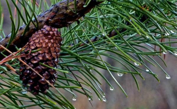 Cone, Rain Bough