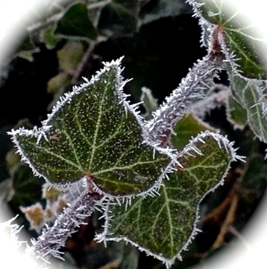 Frost, Ivy
