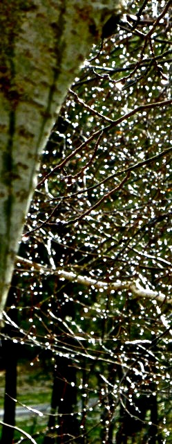 Hail clings to birch twigs