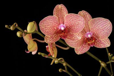 orchid, wiesenfeld