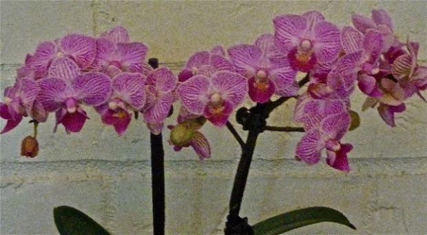 giveaway orchid