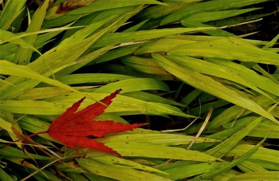 Maple Leaf, Blown Grass