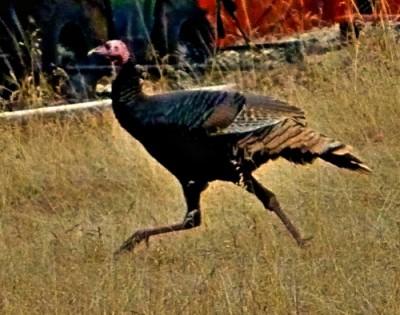 turkeyrunREV
