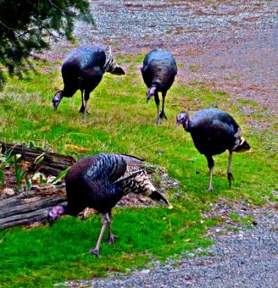 turkeys4REV