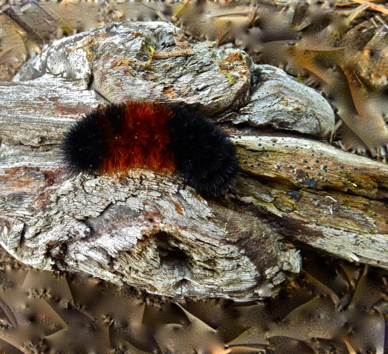 woollybear on wood