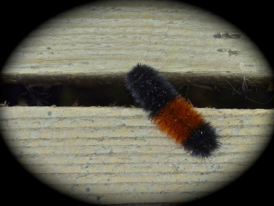 Woolly Bear Caterpillar (Pyrrharctia Isabella) crossing bridge